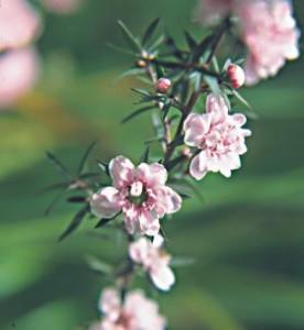 Масло чайного дерева - природный антибиотик